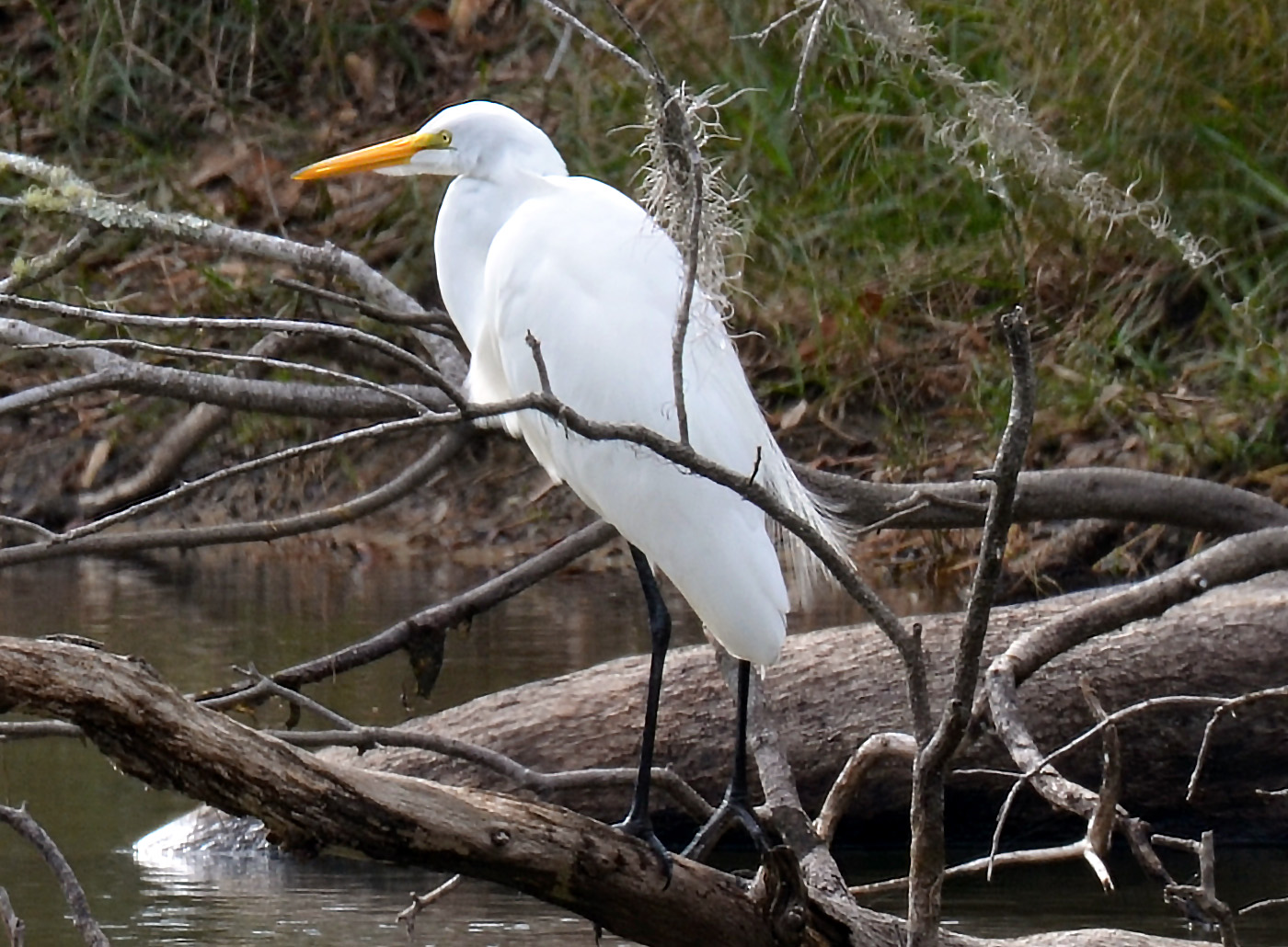 Great Egret Audubon Field Guide >> Photo Gallery Bugs And Critters In My Florida Backyard